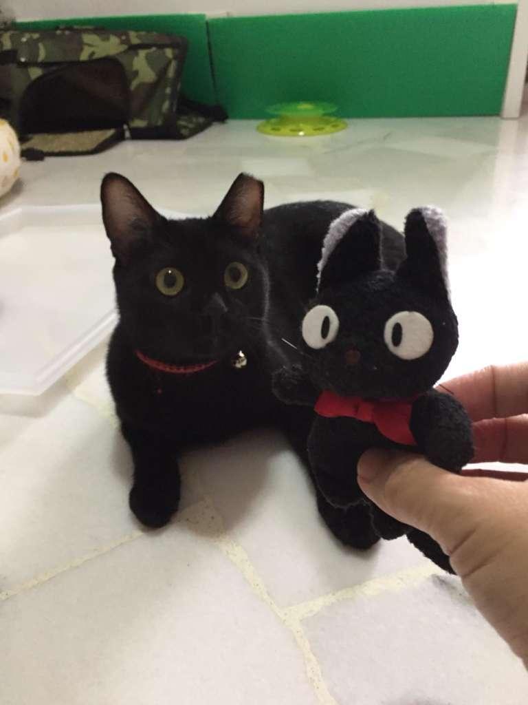 Adopt Black Zorro (Toothless the dragon) – Cat Welfare Society